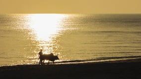 Pojedynczy facet i jego walczący krowy odprowadzenie na plaży Obraz Royalty Free