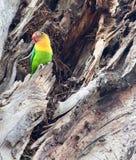 Pojedynczy Fischer ` s lovebird w drzewnym bagażniku Obrazy Stock