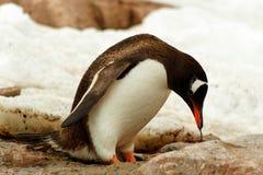 Pojedynczy Gentoo penguine, Antarctica Fotografia Royalty Free