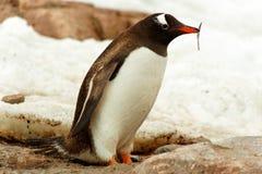 Pojedynczy Gentoo penguine, Antarctica Obraz Royalty Free