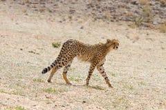 Pojedynczy gepard fotografujący w Kgalagadi parku narodowym Zdjęcia Stock