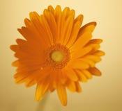 Pojedynczy Gerbera kwiat Zdjęcia Royalty Free