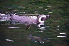 Pojedynczy Humboldt pingwinu dopłynięcie i patrzeć obraz royalty free