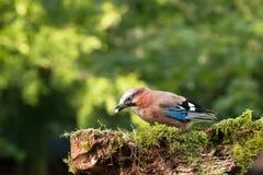 Pojedynczy Jay ptaka karmienie Obraz Royalty Free