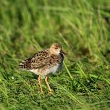 Pojedynczy jazgarza ptak na trawiastych bagnach w wiosna sezonie Fotografia Stock