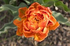 Pojedynczy kolor szczekająca piękna wiosny pomarańcze, czerwieni i koloru żółtego kopia, kwitnie tulipanu w kwiacie w świetle sło obrazy royalty free