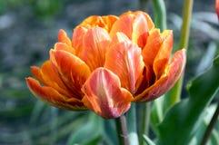 Pojedynczy kolor szczekająca piękna wiosny pomarańcze, czerwieni i koloru żółtego kopia, kwitnie tulipanu w kwiacie w świetle sło obraz stock