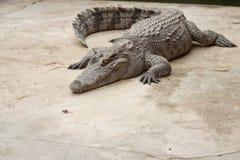 Pojedynczy krokodyl Zdjęcia Stock
