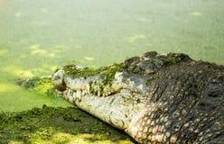 Pojedynczy krokodyl żyje prawie bagno Zdjęcia Royalty Free