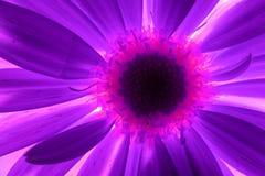 pojedynczy kwiatów makro Fotografia Royalty Free