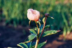 Pojedynczy kwiat w polu Obrazy Stock