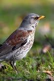 Pojedynczy kwiczoła ptak na trawiastych bagnach podczas wiosna sezonu Obrazy Stock