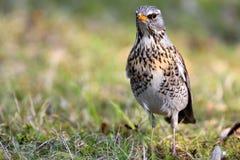 Pojedynczy kwiczoła ptak na trawiastych bagnach podczas wiosna sezonu Zdjęcia Stock