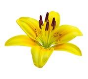 Pojedynczy leluja kwiat Zdjęcia Stock