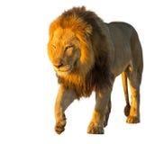 pojedynczy lew Zdjęcie Royalty Free
