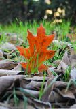 Pojedynczy liść dąb i grupa brązy marznący liście hackberry obrazy royalty free