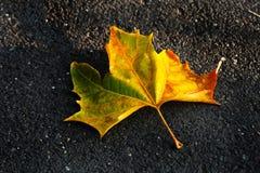Pojedynczy liść jest puszkiem zdjęcie royalty free