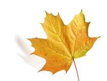 pojedynczy liści klona w białych Zdjęcia Stock