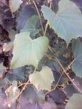 pojedynczy liści winorośli white Zdjęcia Stock