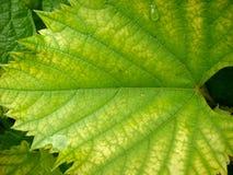 pojedynczy liści winorośli white Obraz Royalty Free
