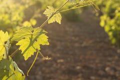 pojedynczy liści winorośli white Fotografia Royalty Free