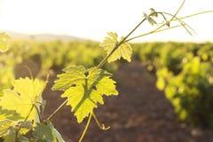 pojedynczy liści winorośli white Zdjęcia Royalty Free