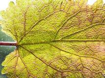 Pojedynczy liścia zakończenie up Obraz Royalty Free