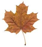 pojedynczy liści, zdjęcia royalty free