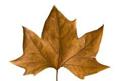 pojedynczy liści, Obrazy Royalty Free