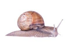 pojedynczy ślimaka white Zdjęcie Royalty Free