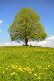 pojedynczy linden drzewo Obraz Stock