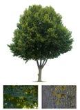 pojedynczy linden drzewo Zdjęcie Stock