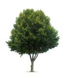 pojedynczy linden drzewo Zdjęcia Royalty Free
