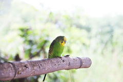Pojedynczy Lovebird obraz royalty free