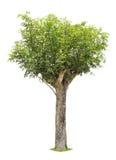 Pojedynczy młody drzewo z zielonymi liśćmi Obraz Royalty Free