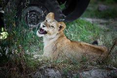 Pojedynczy młody lwa huczenie na trawie obrazy stock