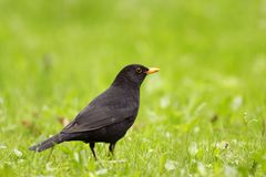 Pojedynczy męski kosa ptak na trawiastych bagnach w wiosna sezonie Fotografia Stock