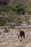 Pojedynczy Męski lwa odprowadzenie przez sawanny w Etosha parku narodowym, Namibia Obrazy Royalty Free