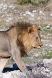 Pojedynczy Męski lwa odprowadzenie przez sawanny w Etosha parku narodowym, Namibia Zdjęcie Stock