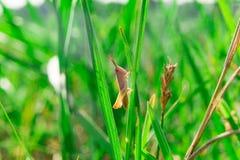 Pojedynczy mały brown grasshooper obsiadanie w trawie Zdjęcie Royalty Free