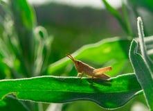 Pojedynczy mały brown grasshooper w trawie Fotografia Stock