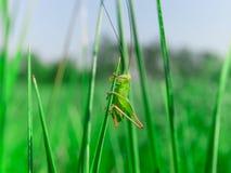 Pojedynczy mały zielony grasshooper w trawie Zdjęcie Royalty Free