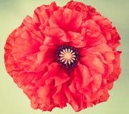 Pojedynczy makowy kwiat na rocznika tle Obraz Royalty Free