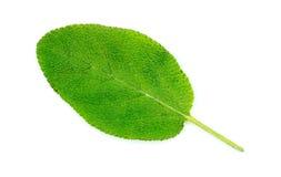 Pojedynczy mądry zielarski liść odizolowywający na bielu Fotografia Royalty Free