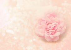 Pojedynczy menchii róży kwiat na miękkich części menchii tle dla valentine lub Zdjęcie Royalty Free