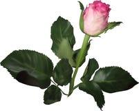 Pojedynczy menchii róży pączek w zielonych leves na bielu Fotografia Stock
