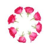 Pojedynczy menchii róży kwiatu set Obraz Royalty Free
