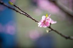 Pojedynczy migdałowego drzewa okwitnięcia Obraz Stock