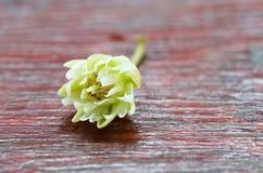 Pojedynczy mimusops kwiat na drewnianym parterze Fotografia Royalty Free