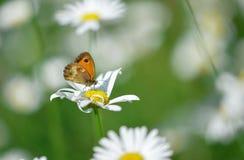 Pojedynczy motyl na kwiacie obrazy stock